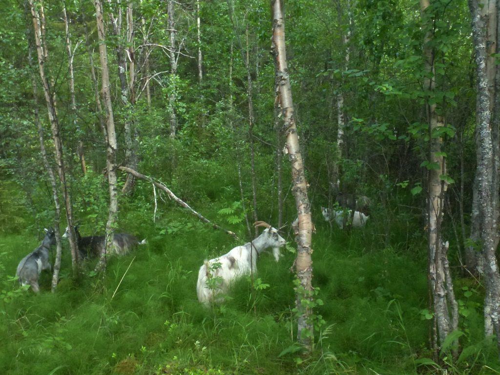 Lappgetter på skogsbete